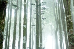 Blurry background of misty morning in the forest. Mist fog in the woods. Green trees on white foggy background.