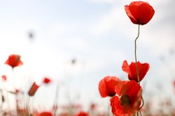 Blurry background of poppy flower field with copy space texture.Red wildflowers Remembrance Day.
