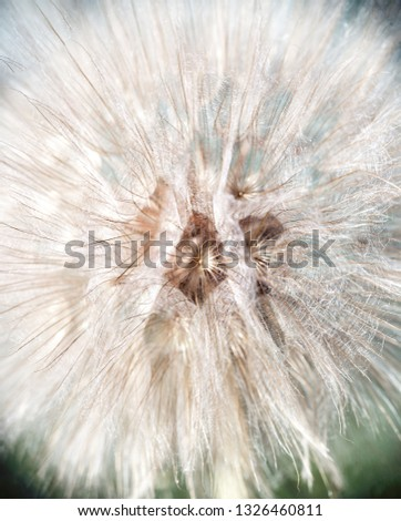 Blurry background with white fluffy dandelion. Abstract white flower seeds, light softness natural texture. Floral pattern with blowball head, soft focus #1326460811