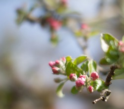 blurry effect on blossoming pink apple tree with old branches and green leaves background for poetic floral wallpaper