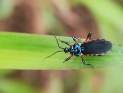Blurry Little Assasin Bug's Eyes with red stripes on the wings seen close up. Blurry Background