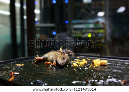 Blurry picture of Rat in glue mouse trap with data center background. It is danger if rat in to data center room. The concept of situation. Intrusion detection system.