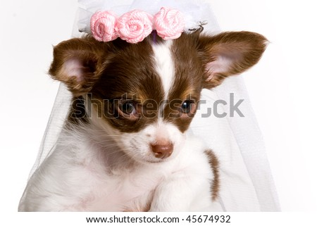 Blushing Bride Brown and white chihuahua Puppy Wearing wedding Veil