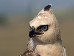 Blyth Hawk Eagle in Portrait mode