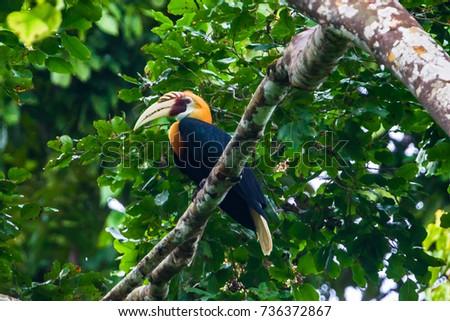 Blyth's hornbill (Rhyticeros plicatus). Raja Ampat, West Papua,