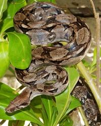 Boa Constrictor Snake hiding in a tree