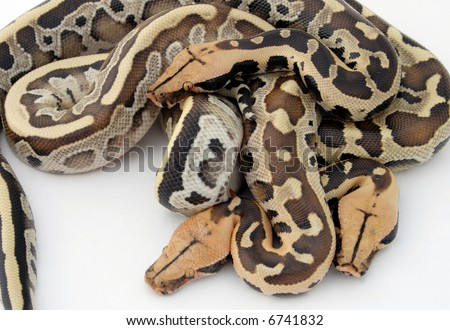 Boa Constrictor Snakes Stock Photo 6741832 : Shuttersto