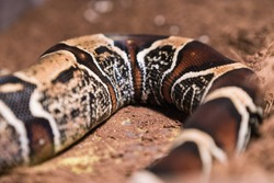 Boa constrictor Suriname (redtail boa) and Vipera berus in the wild