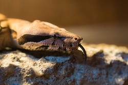 Boa constrictor Suriname (redtail boa) and Vipera berus in the wild