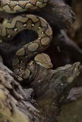 Boa portrait, Boa constrictor snake on tree branch.