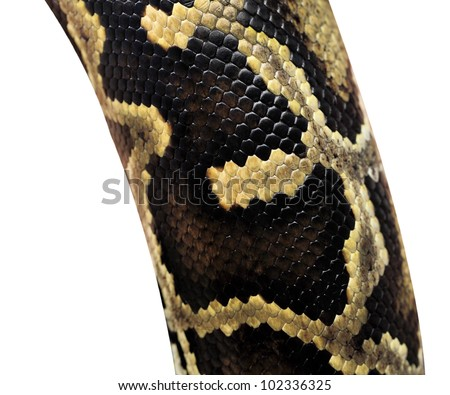 Boa snake skin pattern from alive body isolated on white with clipping path.