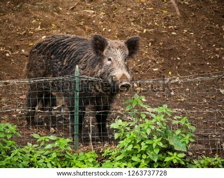 Boar with the snout on the wire mesh