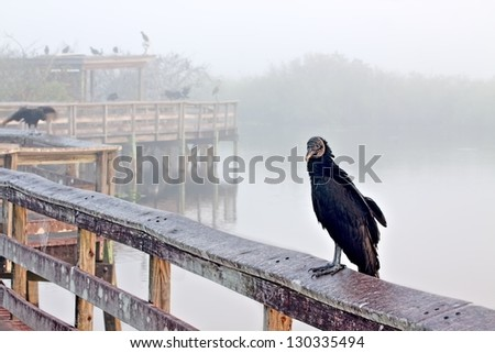 Boardwalk on the Anhinga Trail in the Everglades National Park early in the morning before the visitors arrive with a close up of a black vulture (Coragyps atratus)