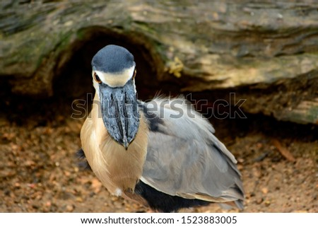 boat-billed heron (Cochlearius cochlearius) looking straight forward