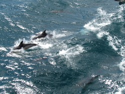 Boat trip at Puerto Madryn bay, sighting of Porpoises