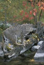 Bob Cat (Lynx rufus) ranges from Southern Canada to Northern Mexico. Its territory is well defined but may vary in size depending on gender and availability of prey.