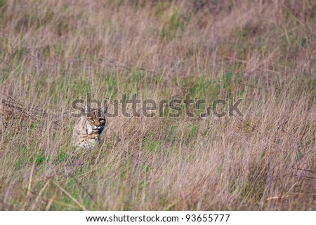 Bobcat captured on a grassy hill in Marin County, California