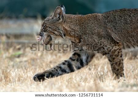 Bobcat catches gopher, gopher is still squirming #1256731114