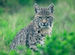 Bobcat closeup in a green meadow at Point Reyes, California