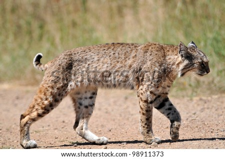 Bobcat Crossing the Trail