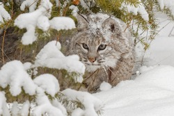 Bobcat in deep snow. USA, North America