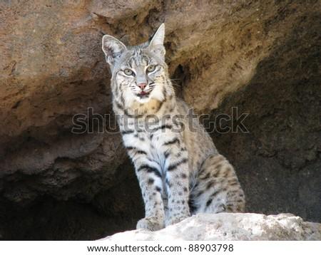 Bobcat In Sonor...
