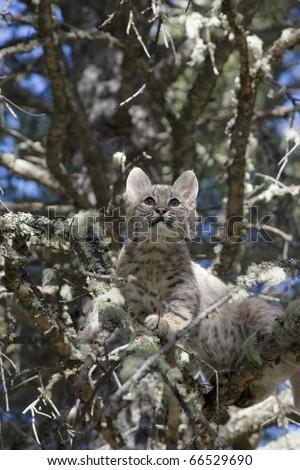 Bobcat kitten gets stuck in a tree