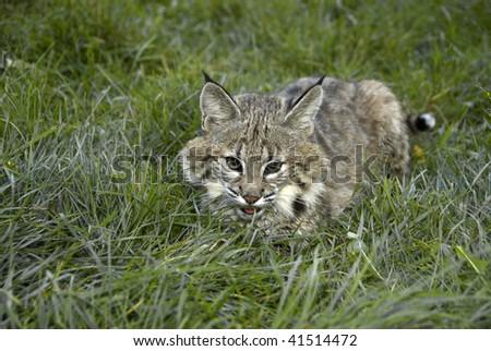 Bobcat kitten (lynx rufus) hides in grass.