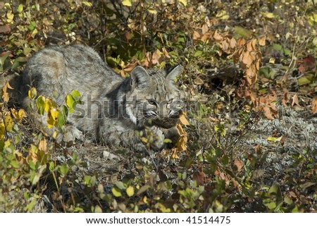 Bobcat kitten (lynx rufus) on rocks chews on deerskin surrounded by autumn foliage.