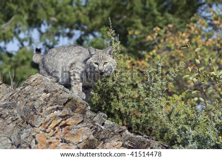 Bobcat kitten (lynx rufux) stalks prey from rocky outcropping with autumn foliage in background.
