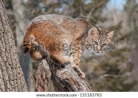 Bobcat (Lynx rufus) Crouches on Snowy Stump - captive animal