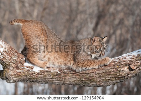 Bobcat (Lynx rufus) Crouches on Snowy Tree Branch - captive animal