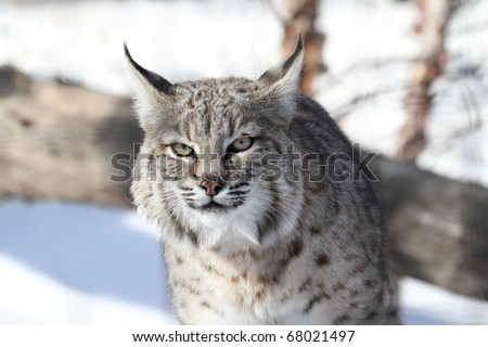 Bobcat (Lynx rufus) hunting in snow in winter
