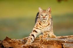 Bobcat (Lynx rufus) standing on a log