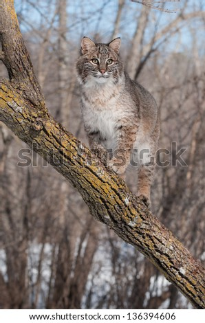 Bobcat (Lynx rufus) Stands on Branch in Tree - captive animal