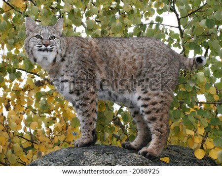Bobcat on a rock in Autumn