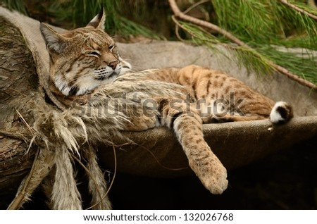 Bobcat Relaxing on a Hammock