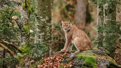 Bobcat sitting on rock with moss in a forest