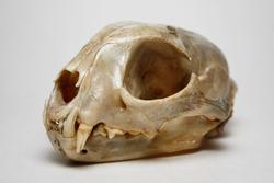 Bobcat skull head