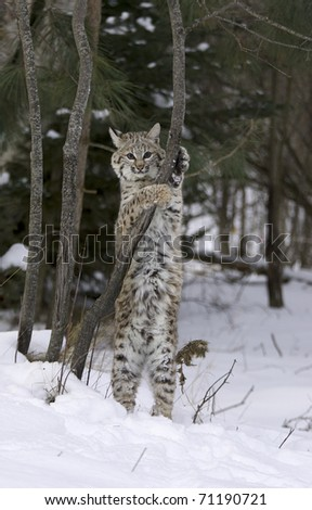 Bobcat stretching on tree limb with snow on ground