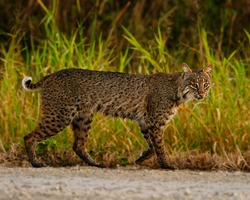 Bobcat strolling down a road in Florida