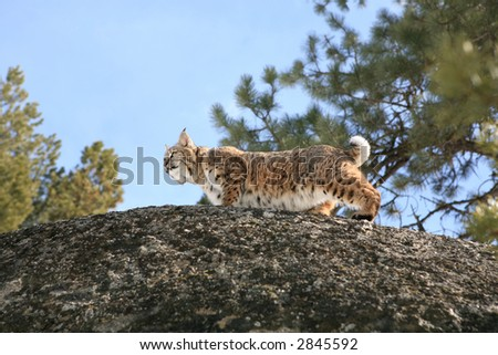 Bobcat up on boulder hunting