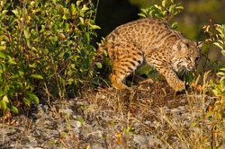 Bobcats are the most abundant wild cat in North America.  They range from Canada to Mexico and are frequently seen on rocky outcrops and cliffs and meadows.  They hunt rodents and rabbits.