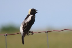 Bobolink songbird perched on wire fence
