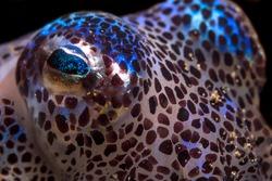Bobtail squid a tiny sparkling critter