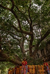 bodhee tree where buddha got enlightened image is taken at mahabodhi temple bodh gaya bihar india. it is the enlightened place of Grate budha and very religious for buddhist.