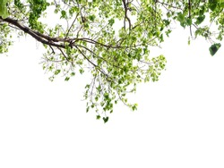 Bodhi branches with leaves isolated on white background. Fresh green leaf texture frame on sky. Lush botany wallpaper with copy space. Tranquil greenery buddha tree backdrop.