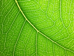 bodhi leaf macro pattern of green