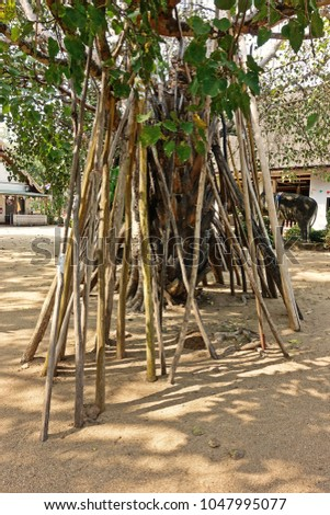 Bodhi tradition crutches. A tradition carried on for more than 200 years, according to legend related to religion, Northern Thailand #1047995077
