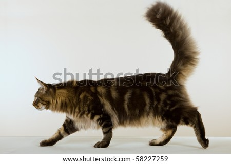 Body image of Maine Coon on beige background